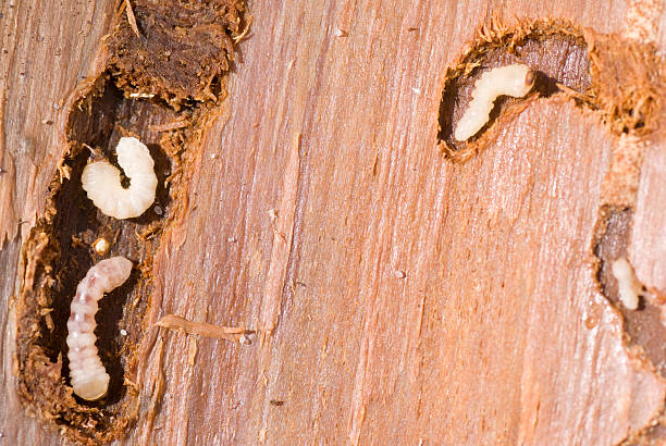 woodworm-1536523